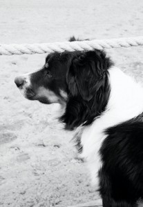 """Max, Jesse Beckley's Aussie and the official """"Meeter Greeter"""" of Three Bars"""