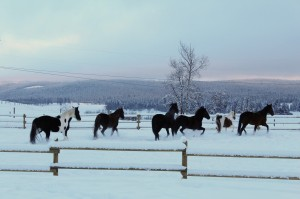 Horses in Sunset in Winter
