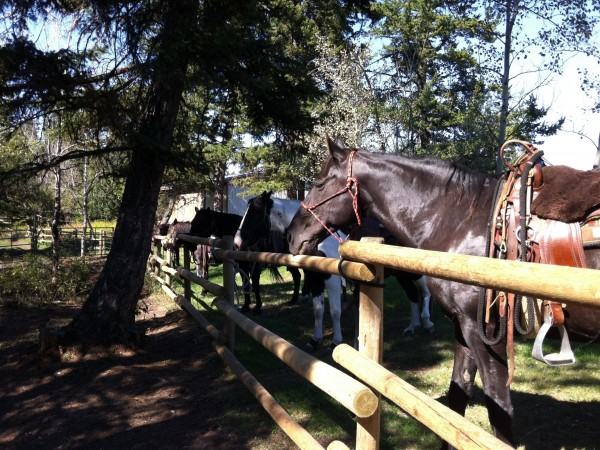 trail horses waiting for another ride