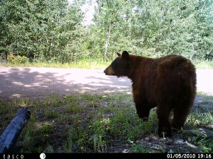 brown bear crossing our private road